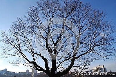 Bare winter tree