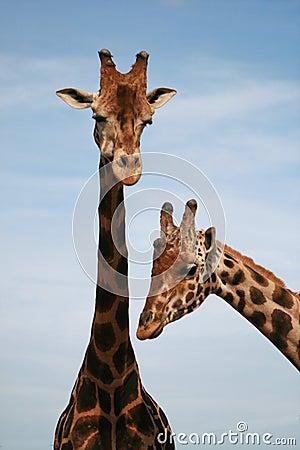 Free Baringo Giraffe - African Animal Royalty Free Stock Photography - 4601437