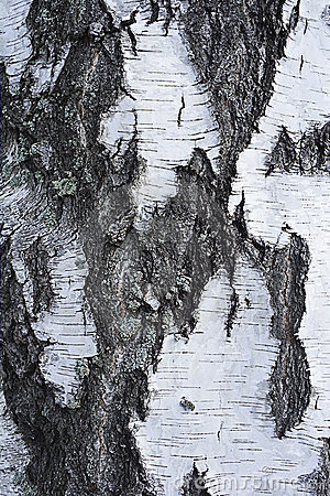 Bark of birch tree