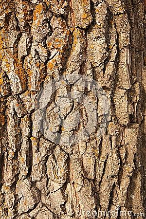 Free Bark Of Oak Stock Photography - 16671072