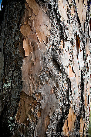 Free Bark Of Pine Tree Stock Photos - 5367703