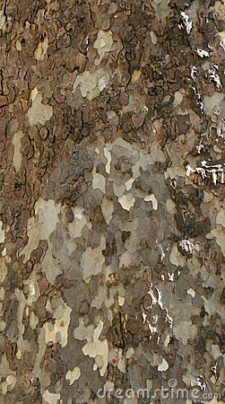 Free Bark Of Plane-tree Stock Photos - 5107883
