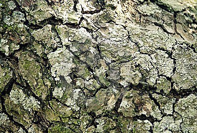 Bark of old pear tree