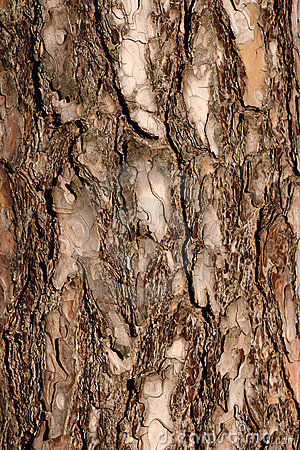 The bark of a pine