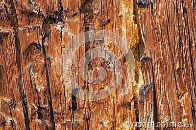 Bark Pine Beetle damage