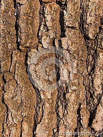Bark of a tree an oak