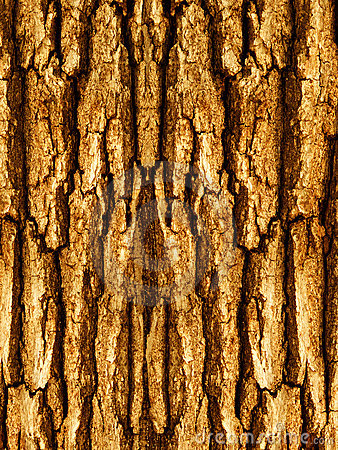 Bark of a tree an oak