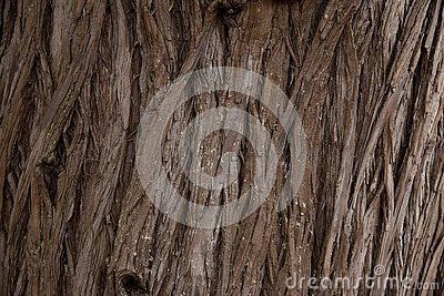 Bark Tree texture full frame in nature. Close Up of Redwood Bark Stock Photo