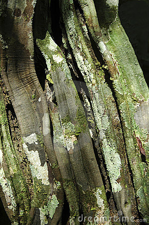 Bark of tropical tree
