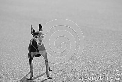 Barking Chihuahau
