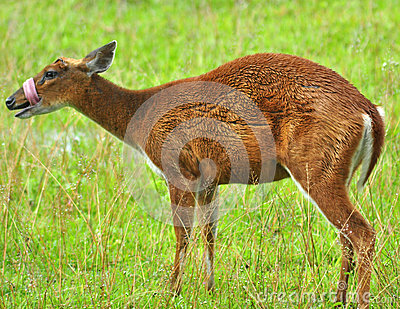 Barking deer in Khao Yai National Park