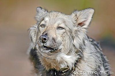 Barking grey dog