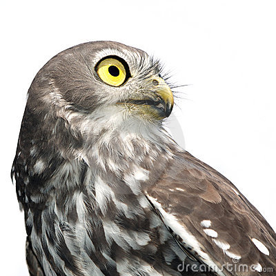Barking Owl Isolated