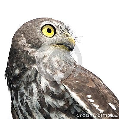 Barking Owl Isolated