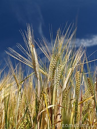 Free Barley Stock Images - 2643874