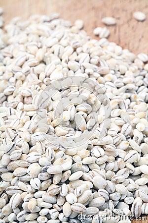 Barley agriculture