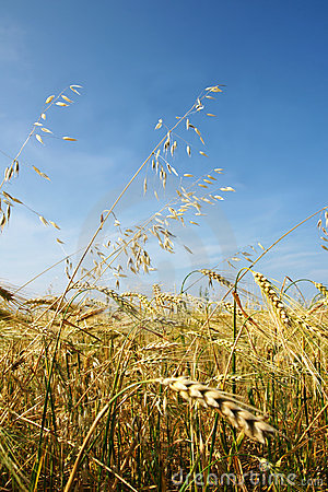 Free Barley And Oat Vertical Stock Photos - 15348713