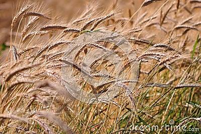 Barley background