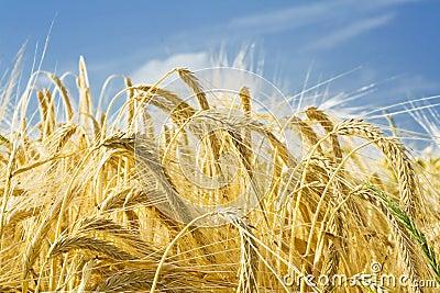 Barley ears ground view