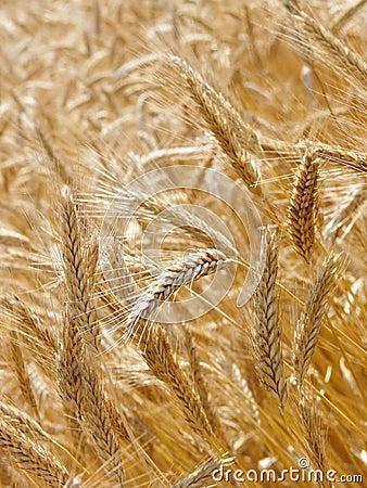 Free Barley Field Stock Image - 10556771