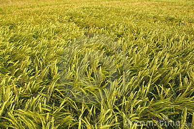 Barley field with golden color in sunset.