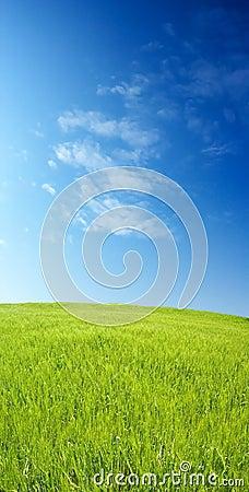 Barley field over blue sky