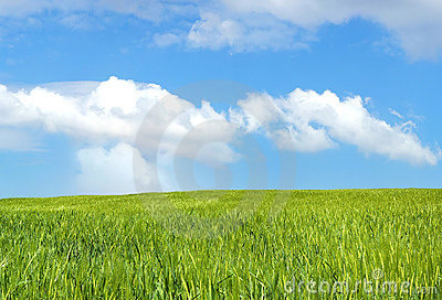 Barley field over blue sky