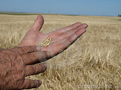 Barley in hand.