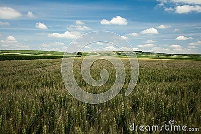 Barley landscape