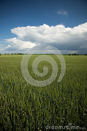 Barley landscape with rainly clouds