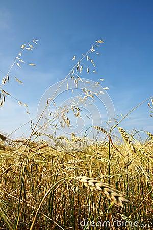 Barley and oat vertical