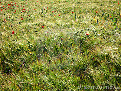 Barley and poppy field
