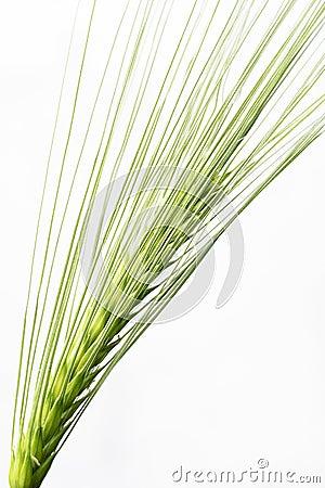 Barley seed head