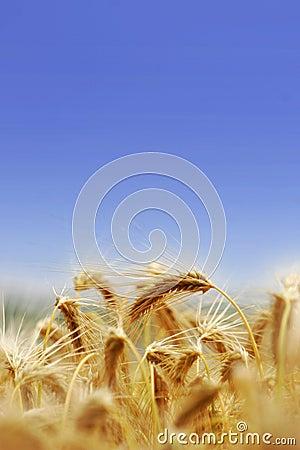 Barley Tufts