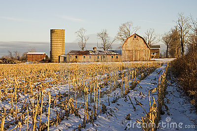 Barn and Corn Field