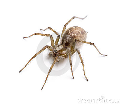 Barn funnel weaver spider- Tegenaria agrestis