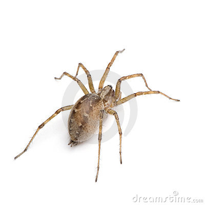 Free Barn Funnel Weaver Spider- Tegenaria Domestica Royalty Free Stock Photo - 6610205