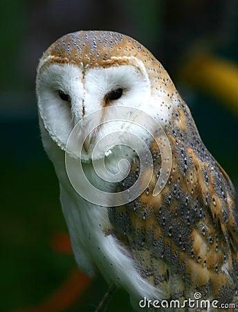 Free Barn Owl Royalty Free Stock Photography - 108277