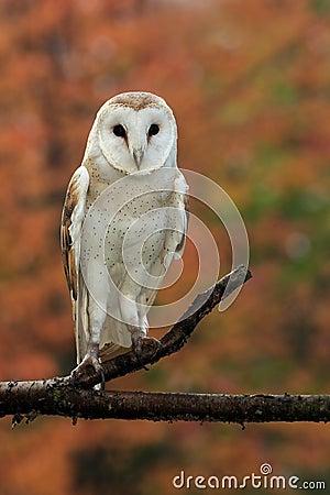 Free Barn Owl Stock Image - 11304381