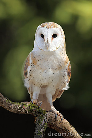 Free Barn Owl Stock Photos - 13967123