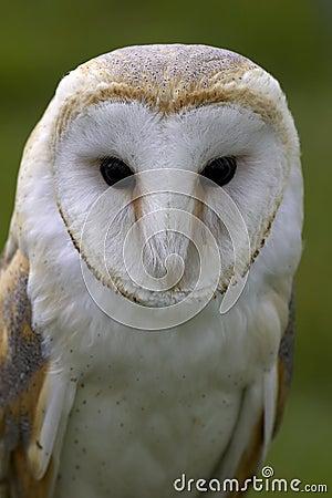 Free Barn Owl Stock Photos - 204723
