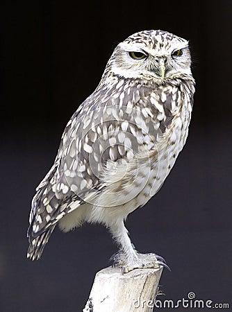 Free Barn Owl Royalty Free Stock Photography - 2190337