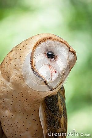 Free Barn Owl Royalty Free Stock Image - 29226646