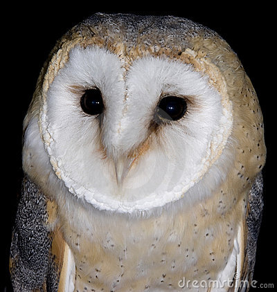 Free Barn Owl Royalty Free Stock Photos - 3816438