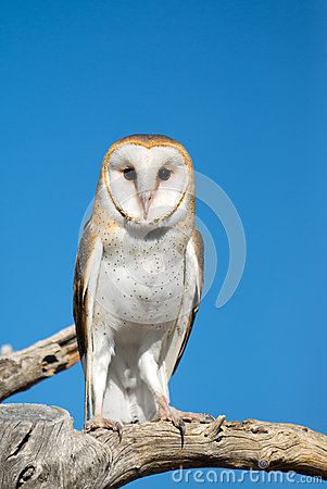 Free Barn Owl Royalty Free Stock Images - 39147169