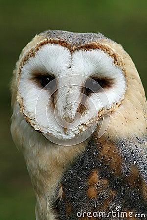 Free Barn Owl Stock Image - 43261251