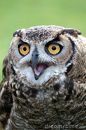 Owl with Open Beak