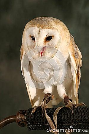 Free Barn Owl Royalty Free Stock Photography - 48367