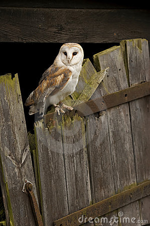 Free Barn Owl Royalty Free Stock Images - 5218819