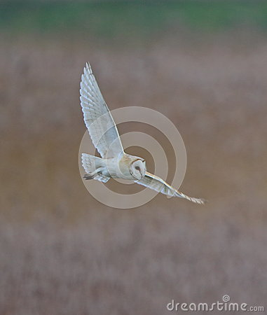 Free Barn Owl Stock Photography - 65669062